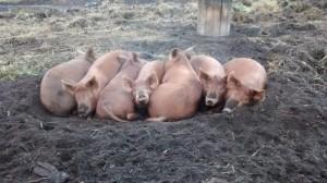 pile o'pigs